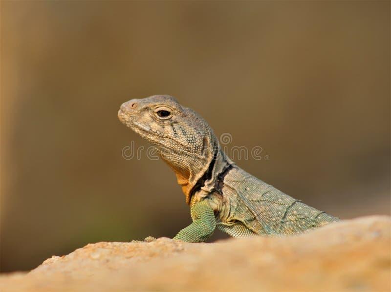 Восточная collared ящерица загорая на утесе стоковое фото rf