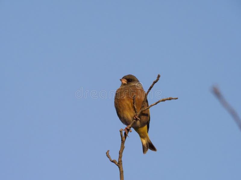 Восточное или сер-покрытое greenfinch, sinica хлориды стоковое фото