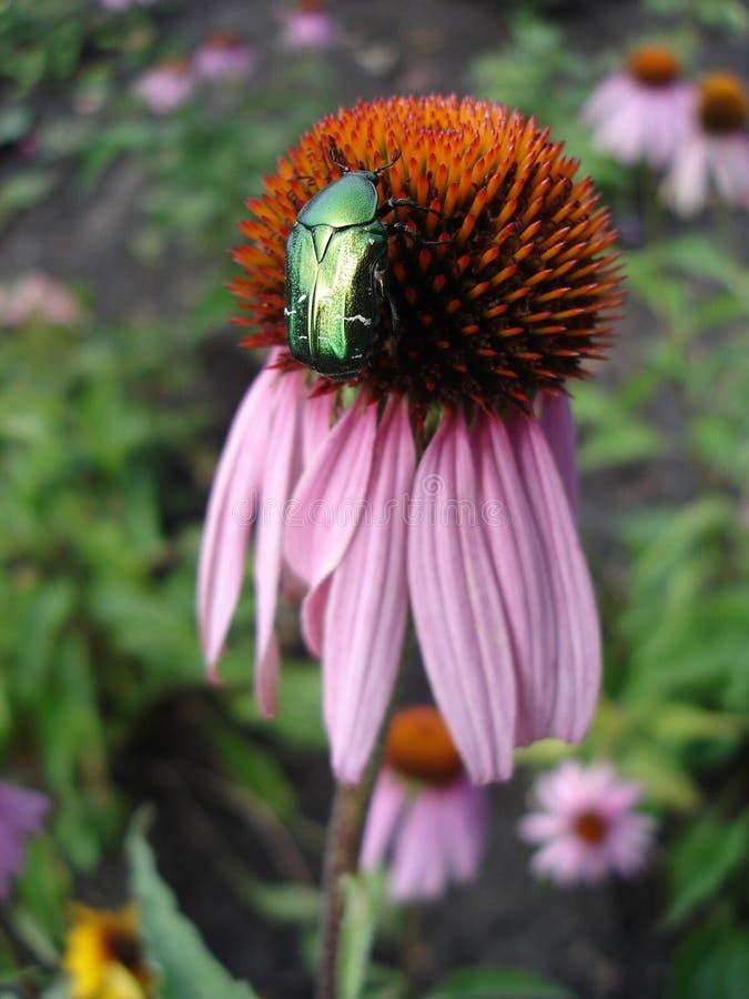 Восточное фиолетовое coneflower цветет (rudbeckia) с жуком стоковая фотография rf