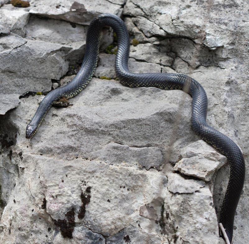 Восточное черное Kingsnake стоковое фото rf
