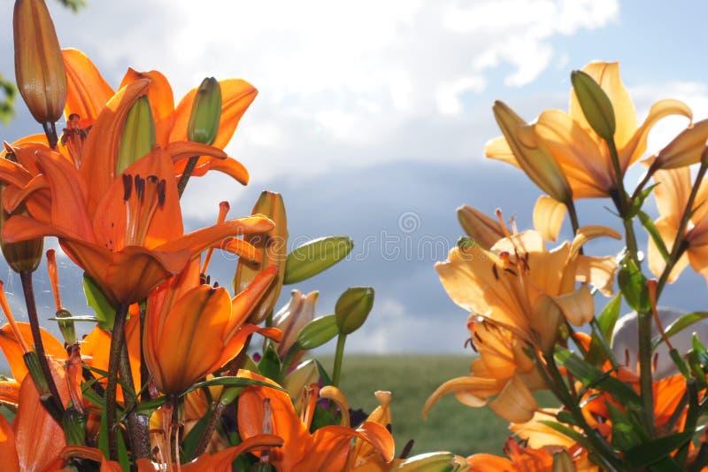 Восточное Lillies против предпосылки сельской местности стоковое фото rf