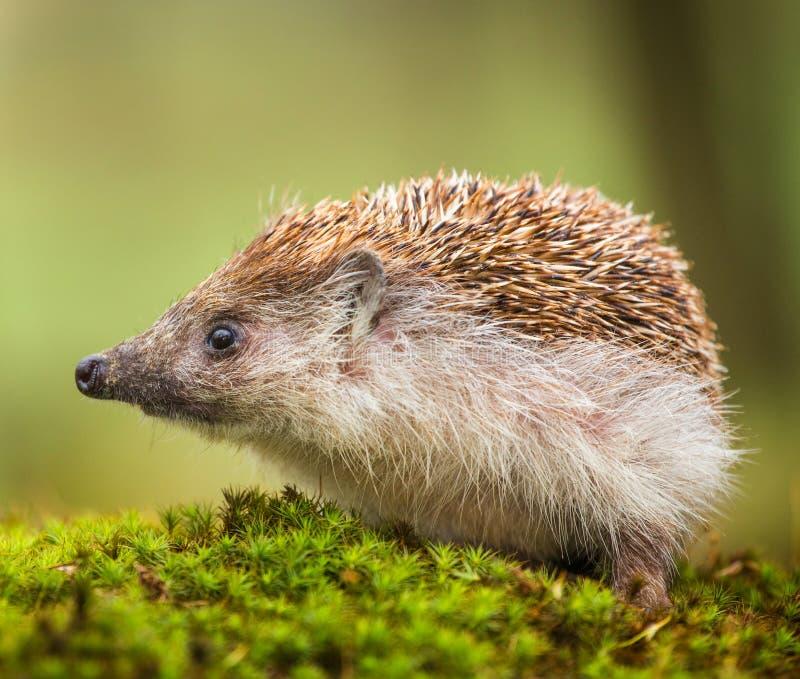 восточно - европейский hedgehog стоковая фотография rf