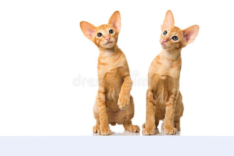 Восточные коты коротких волос стоковое изображение rf