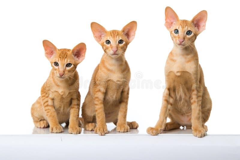 Восточные коты коротких волос стоковое изображение