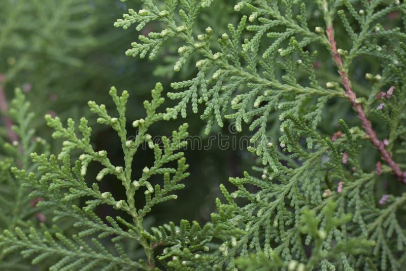 Восточные orientalis Беседк-Vitae или Platycladus листают для предпосылки стоковая фотография