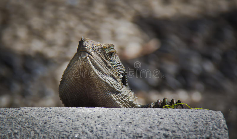 Восточный дракон воды стоковое изображение rf