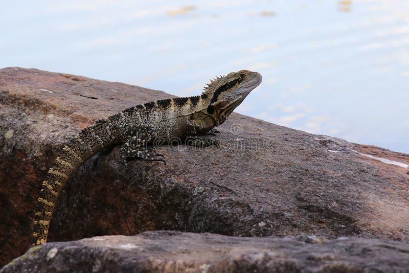 Восточный дракон воды, lesueurii Physignathus стоковые фото