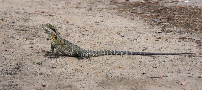 Восточный дракон воды, lesueurii Physignathus стоковая фотография rf