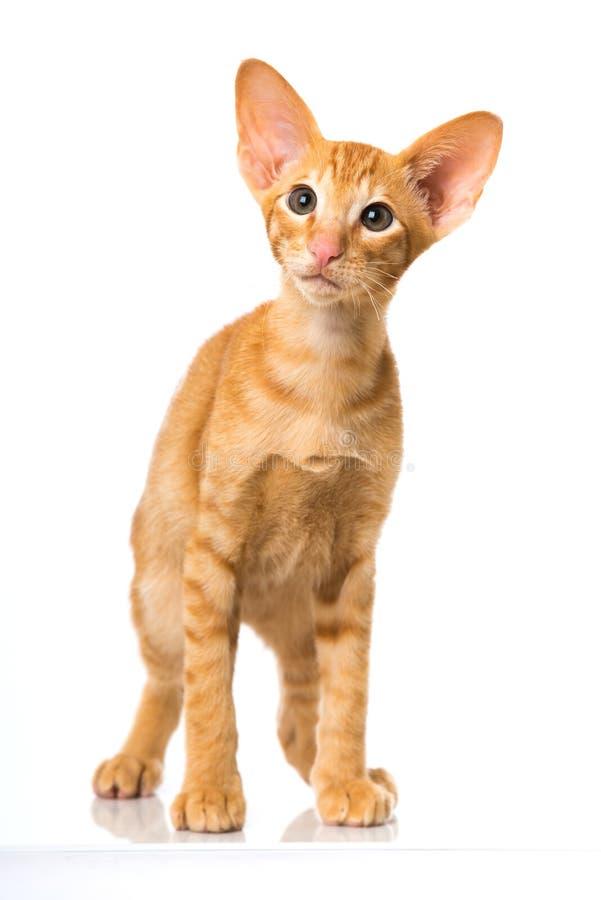 Восточный кот коротких волос стоковое фото rf