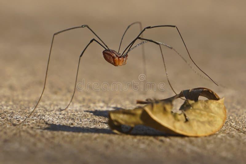 Восточный паук сезонного рабочего для уборки урожая стоковое изображение rf
