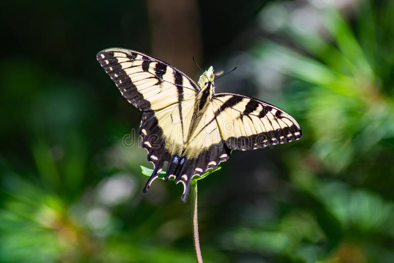 Восточный питаться бабочки Swallowtail тигра стоковая фотография