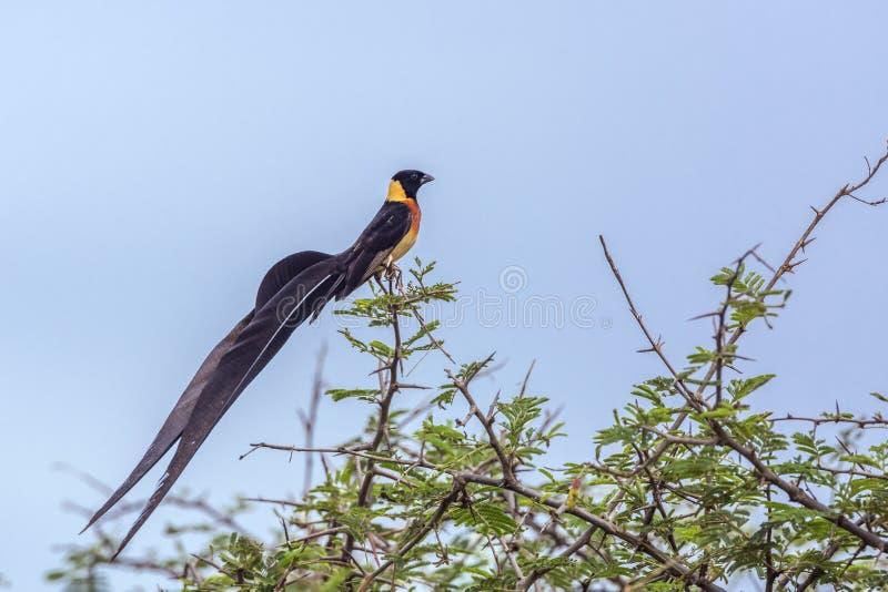 Восточный рай-Whydah в национальном парке Kruger, Южной Африке стоковая фотография