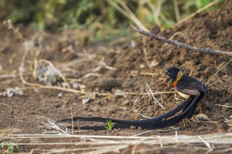 Восточный рай-Whydah в национальном парке Kruger, Южной Африке стоковые фото