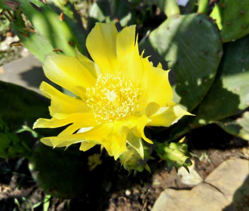 Восточный цветок кактуса колючей груши стоковое фото rf