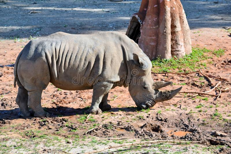 Восточный черный Diceros Bicornis Michaeli носорога есть траву стоковое фото rf