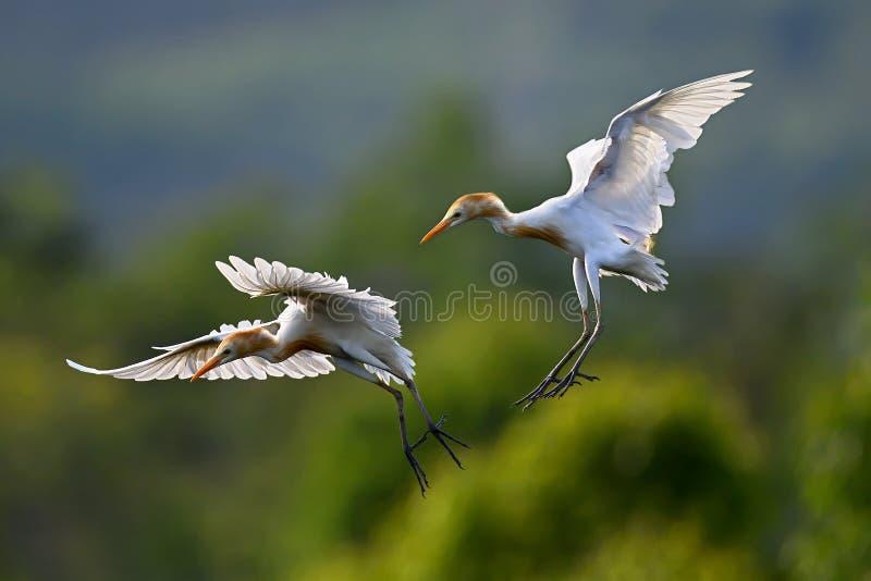 Восточный Egret скотин стоковая фотография