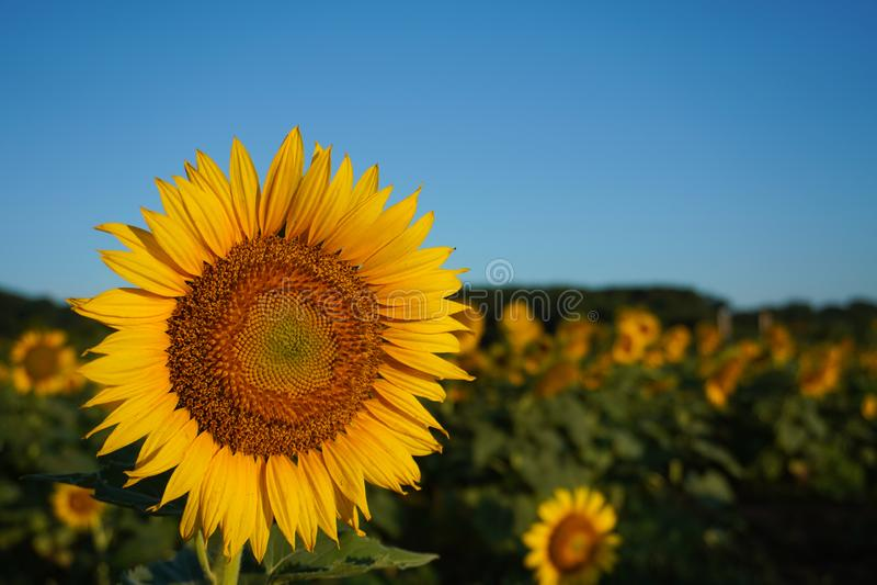 Восход солнца поражает солнцецвет в поле летом стоковая фотография rf