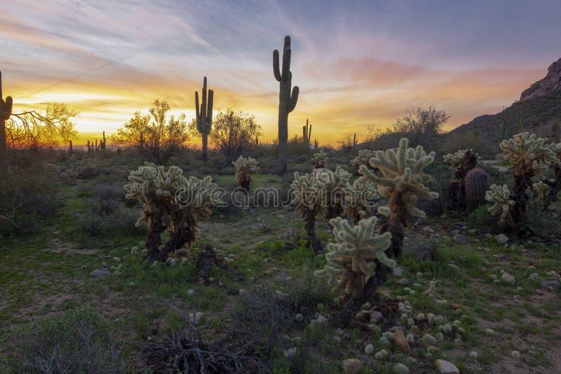 Восход солнца с кактусами Cholla стоковое фото