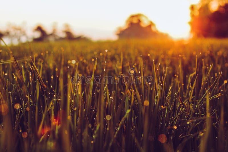 Восход солнца целует поле риса стоковые фотографии rf