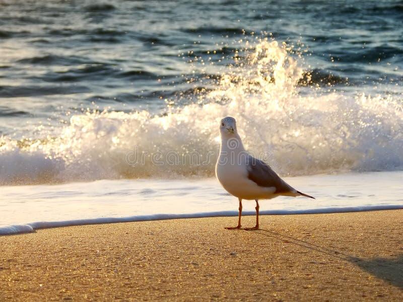 восход солнца чайки стоковая фотография rf
