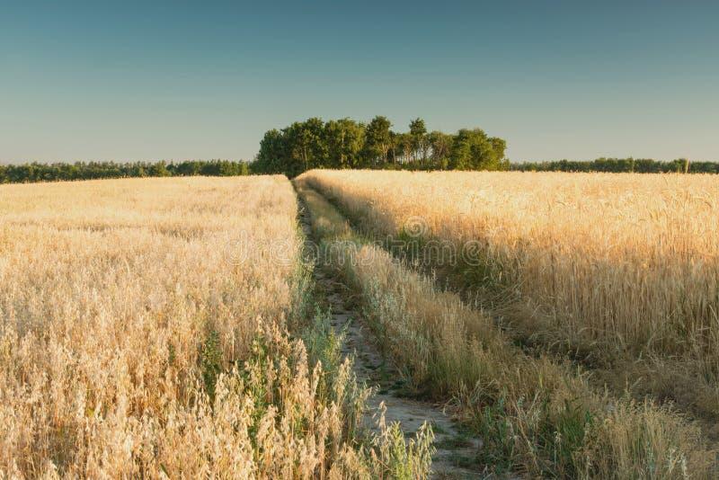Восход солнца в пшеничном поле стоковые фотографии rf