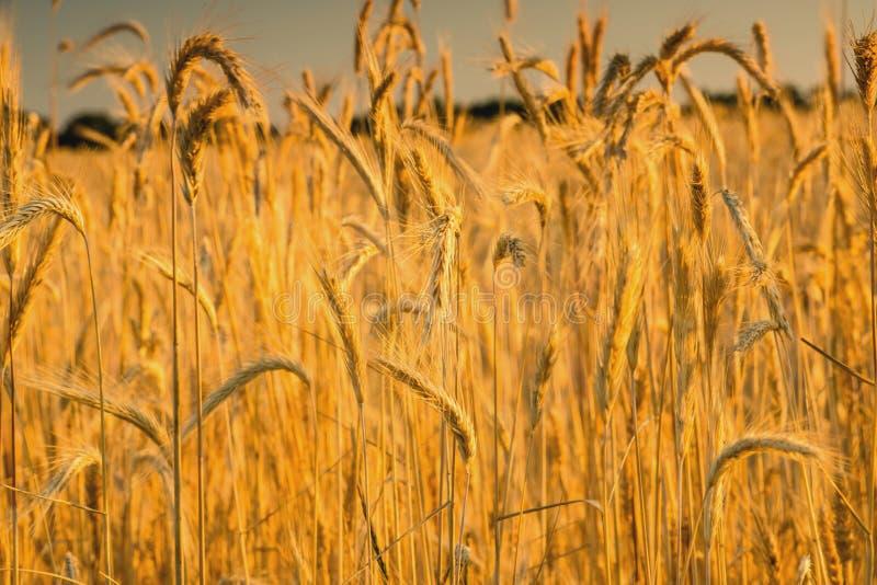 Восход солнца в пшеничном поле стоковые фото