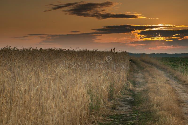 Восход солнца в пшеничном поле стоковые изображения rf