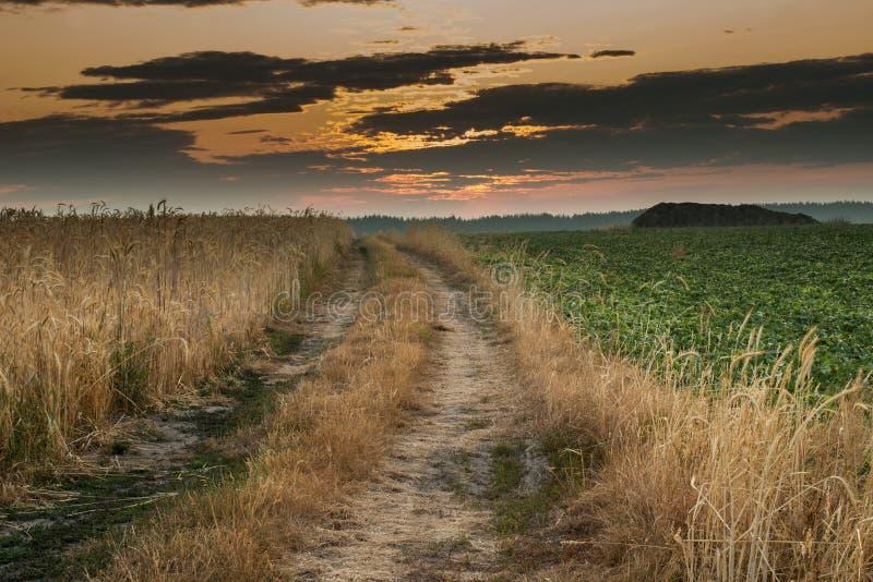 Восход солнца в пшеничном поле стоковое фото rf