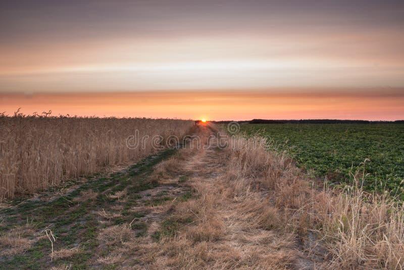 Восход солнца в пшеничном поле стоковое изображение rf