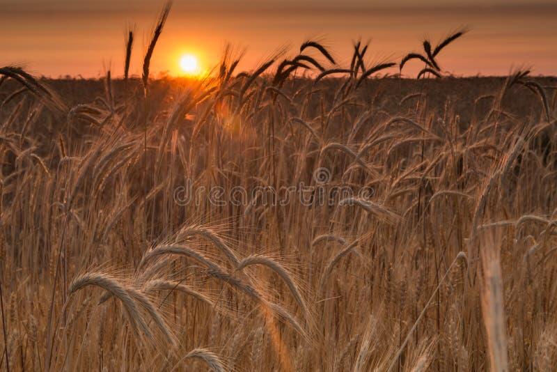 Восход солнца в пшеничном поле стоковая фотография