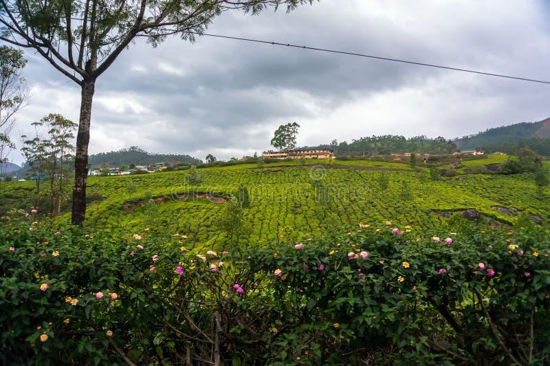 Восход солнца над плантациями чая в Munnar стоковые фотографии rf