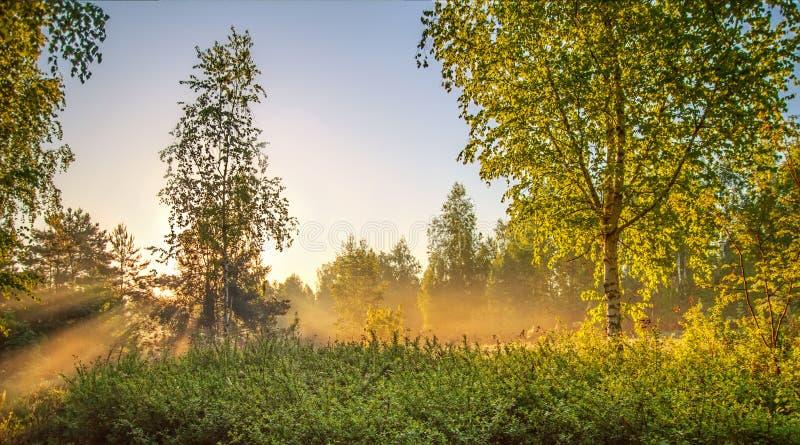 Восход солнца Роща березы в природе утра mistSpring Ландшафт стоковые фото