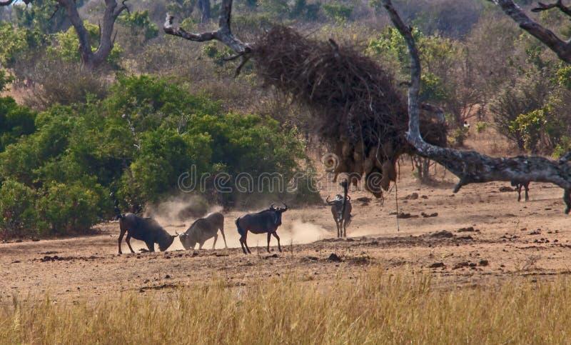 Воюя антилопа гну стоковое изображение rf