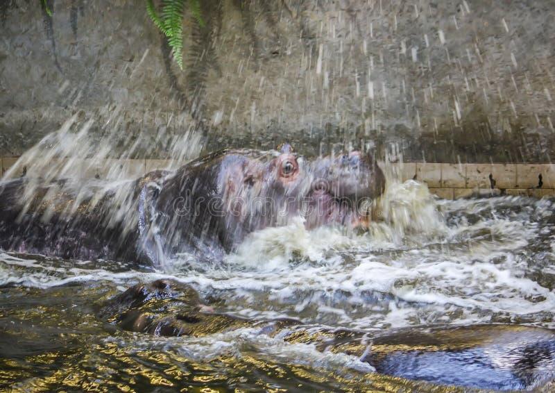 2 воюя гиппопотама Amphibius бегемота Животное Южной Африки стоковое фото