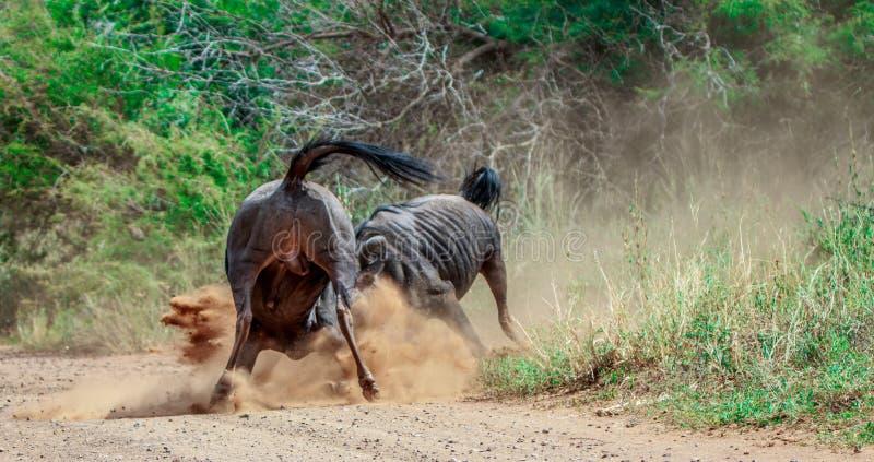 Воюя голубая антилопа гну стоковая фотография