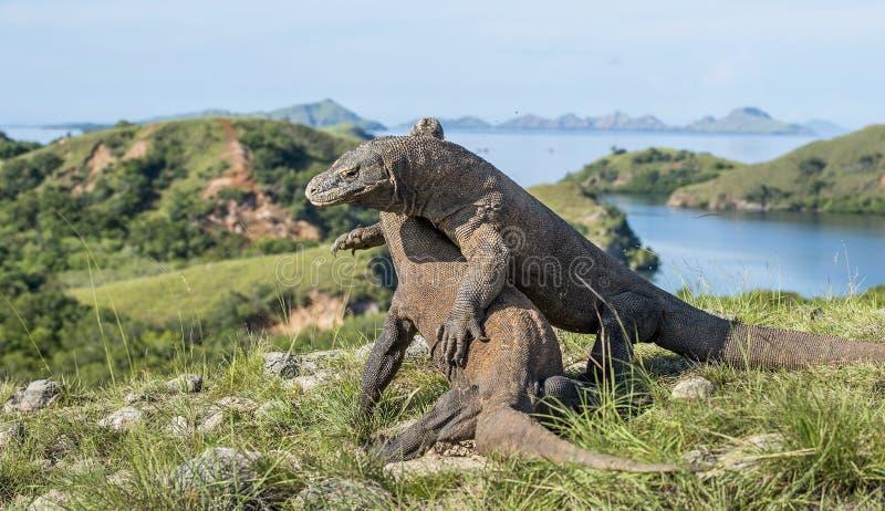 Воюя драконы Komodo для доминирования стоковые фотографии rf
