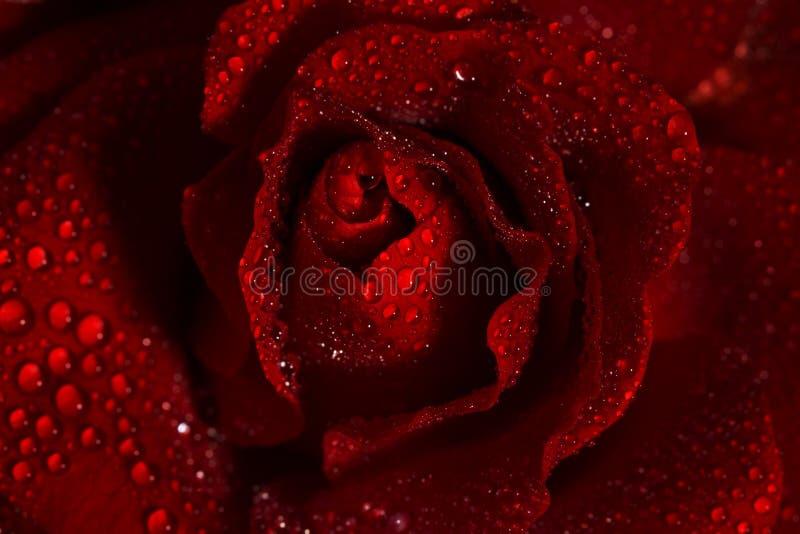 вода близкой розы красного цвета макроса изображения капек dof темноты весьма отмелая поднимающая вверх стоковое фото rf