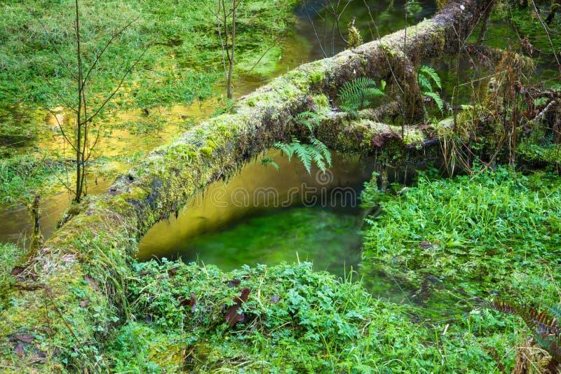 Вода зеленого цвета Waterflow роста болота тропического леса Hoh земная отражает стоковое фото