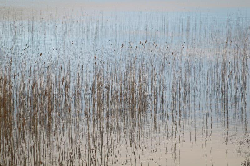 Вода и тростники стоковое изображение
