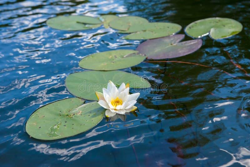 Вода и цветок стоковые фотографии rf