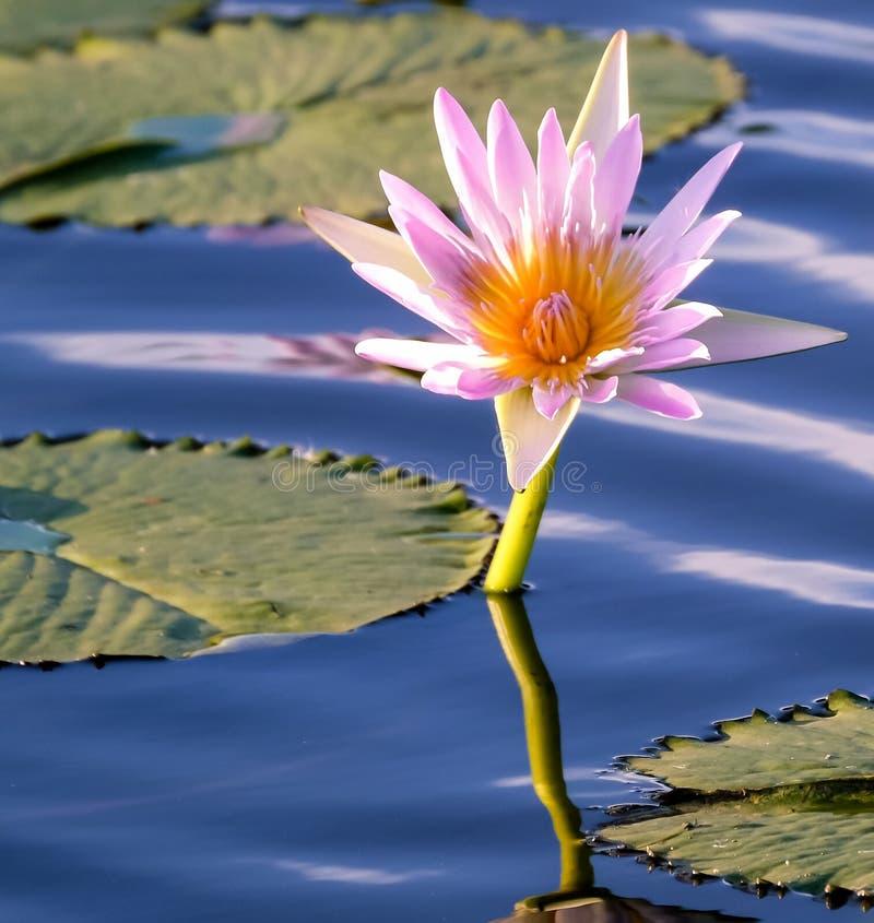 вода пинка лилии цветеня полная стоковая фотография