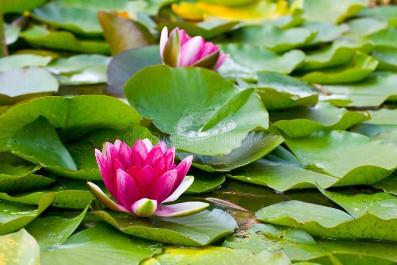 Вода lilly стоковое фото