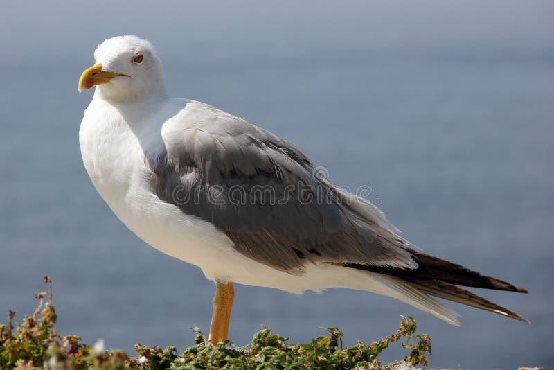 Во-вторых белая и серая чайка под солнцем лета стоковое фото rf