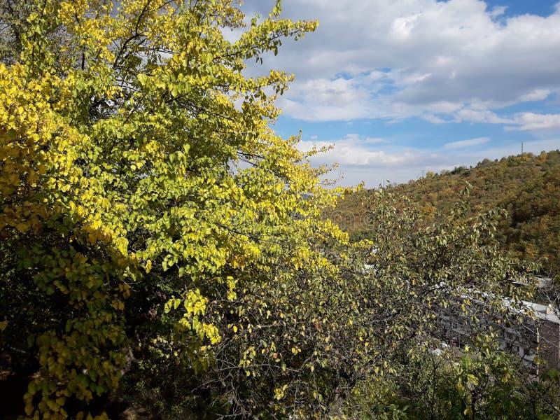 Во дворе приходит падение Листья шелковицы повернули желтый стоковое фото rf