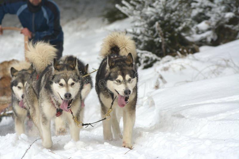 Водитель dogteam Musher и сибирская лайка на конкуренции зимы снега участвуют в гонке в лесе стоковые фотографии rf