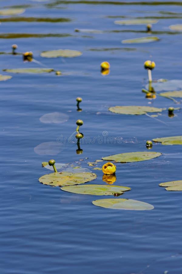 Вод-лилия стоковые изображения