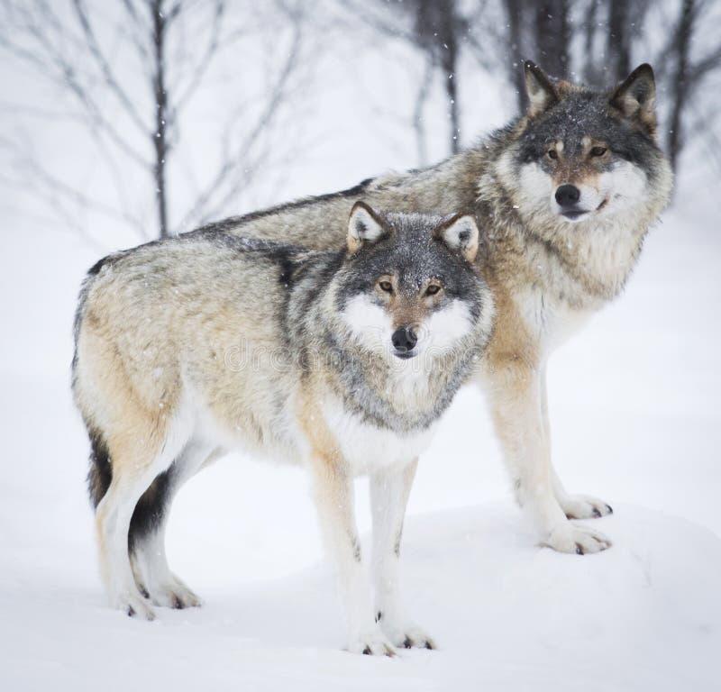 3 волка в снежке стоковое фото