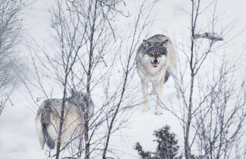 3 волка в снежке стоковое изображение