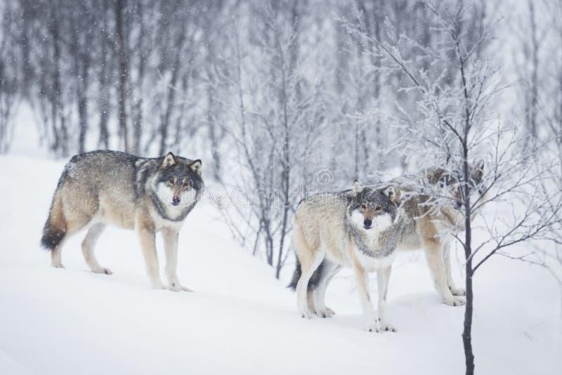 3 волка в снежке стоковые изображения rf