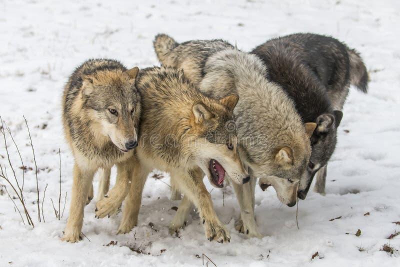 Волки тундры стоковое изображение